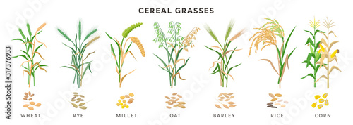 Obraz Cereal grasses big collection of plants and seeds, botanical drawings in flat design isolated on white background. Cereals - wheat, rye, oat, millet, barley, maize, rice planting infographic elements. - fototapety do salonu