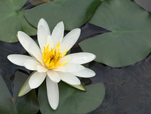 American White Waterlily (Nymphaea Odorata) Has Just Opened In A Garden Pool At Biltmore Estate, Asheville NC