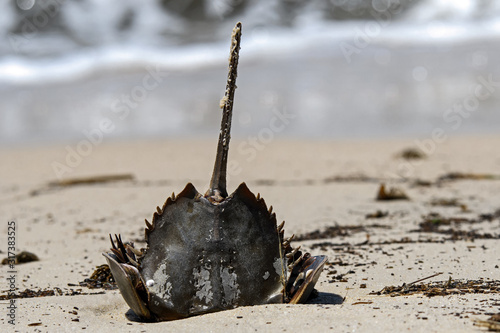 Horseshoe crab stranded on the beach after mating Wallpaper Mural