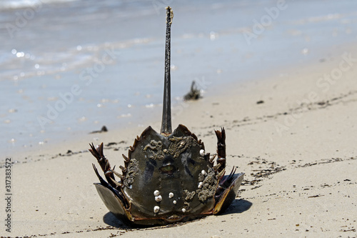 Horseshoe crab stranded on the beach after mating Canvas Print