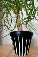 A Ponytail Palm Plant Inside Of A Hand Painted Black Ceramic Pot With White Acrylic Paint Dripped For A Unique Pattern And Design. It Is Sitting On A Wooden Desk.