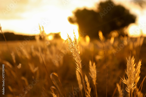 Fototapety, obrazy: Long grass at sunset. Vibrant golden glow as the sun sets in the countryside