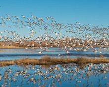 Snow Geese In Flight With Refl...