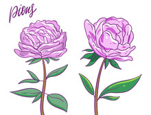 Two Pink Pions Flowers. Vector...