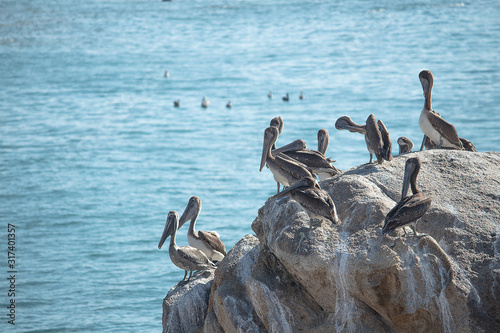 pelicanos montados en una piedra Wallpaper Mural