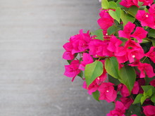 Bougainvillaea Flower Tropical Plant.bougainvillaea Flower On White Background.Copy Space.