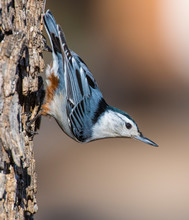 A White-breasted Nuthatch Perc...