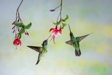 Couple Of Hummingbirds Looking...