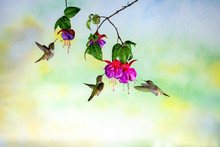 Three Volcano Hummingbird