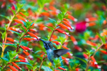 An Anna's Hummingbird Hovering...