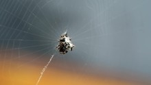 White Black Spider On The Web