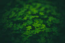 Beautiful Green Clovers With B...