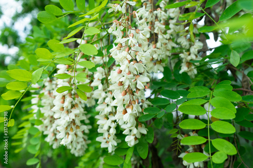 Photo Flowers of a white acacia against green foliage.
