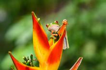 Red-eyed Tree Frog, Agalychnis...