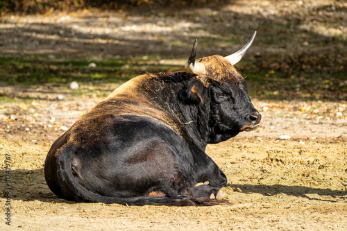 Heck cattle, Bos primigenius taurus or aurochs in the zoo Wallpaper Mural