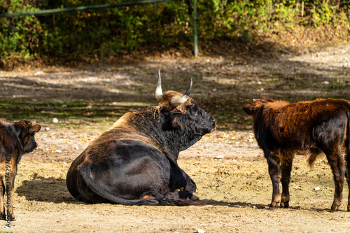 Photo Heck cattle, Bos primigenius taurus or aurochs in the zoo