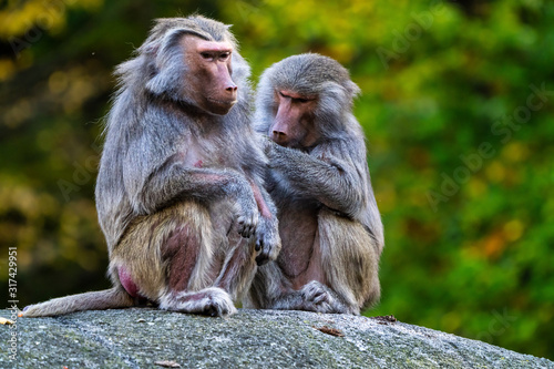 The hamadryas baboon, Papio hamadryas is a species of baboon Tapéta, Fotótapéta