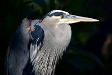 Closeup Of A Great Blue Heron ...