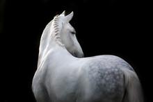 White Horse Portrait  Isolated...