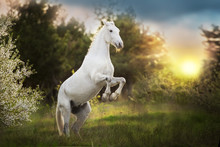 White Horse Rearing Up At Sunl...