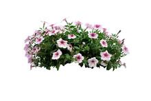 Flowers Bush Of White Petunia ...