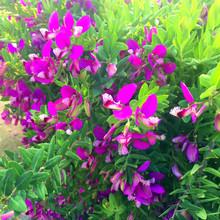 Purple Sweet Pea Shrub Blossom...