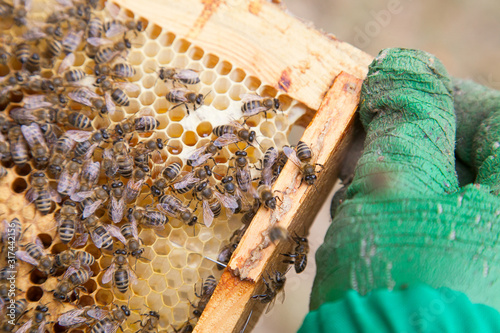 Working bees in a hive on honeycomb Canvas Print