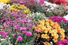Chrysanthemum Small Bush Autum...