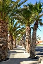 Pedestrian Path Beetween Palm Trees. Caleta De Fuste, Fuerteventura, Spain.