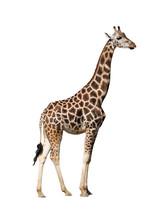 Giraffe Isolated On A White Ba...