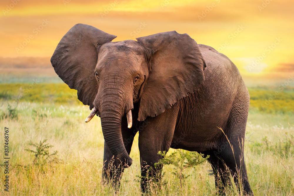 Fototapeta African elephant standing in grassland at sunset.
