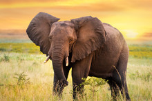 African Elephant Standing In Grassland At Sunset.