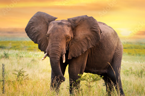Obraz na plátne African elephant standing in grassland at sunset.