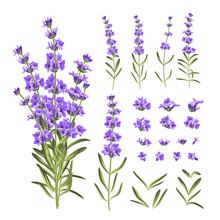 Set Of Lavender Flowers Elements. Collection Of Lavender Flowers On A White Background. Vector Illustration Bundle.