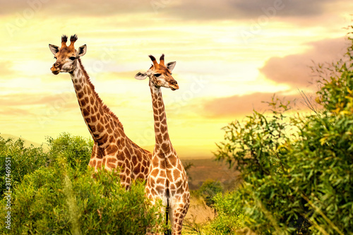 Two african giraffes in savanna at sunset. Canvas Print