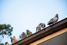 Feral Pigeons Sitting On The Roof Of A House.
