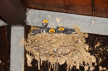 Little Swallows In The Nest Ar...