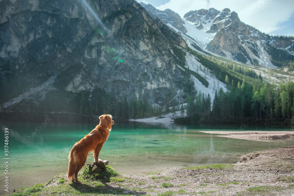 Fototapeta dog by the mountain lake. Traveling with a pet. vacation trip. Nova Scotia Retriever in nature.