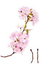 Pink Spring Cherry Blossom Flo...