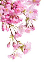Pink Spring Cherry Blossom Flowers On A Tree Branch Isolated Against A White Background.