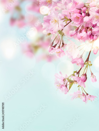 Obraz A portrait image of pink cherry tree blossom flowers blooming in springtime against a natural sunny blurred garden background of blue and white bokeh. - fototapety do salonu
