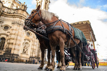 Pair Of Harnessed Horses With Cathedral Of Holy Trinity On Background. Theaterplatz In Dresden, Germany. November 2019