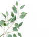 Eucalyptus branch isolated on white background. Flat lay, top view. floral concept