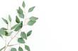 Leinwandbild Motiv Eucalyptus branch isolated on white background. Flat lay, top view. floral concept