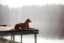 The Dog Lies On A Wooden Pier ...