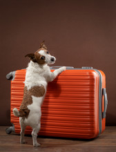 Dog With A Red Suitcase. Traveling With A Pet. Jack Russell Terrier At Home