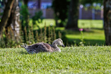 Canada Goose Gosling Lying In ...