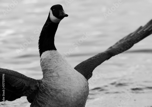 Rearing Canadian Goose Canvas Print