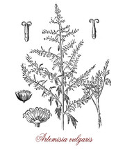 Artemisia Vulgaris Or Common Mugwort Invasive Weed With Small Florets Used As Medicinally And  Culinary Herb: Flavoring And Bittering Ales, For Pain Relief, Treatment Of Fever And As Diuretic