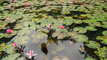Lily Pads And Pink Flowers In ...